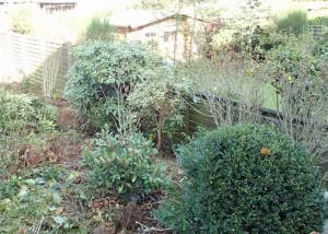 Die Hecke nimmt Gestalt an: Hibiskus, Rododendron, Buchsbaum, Zierquitte und Hortensie