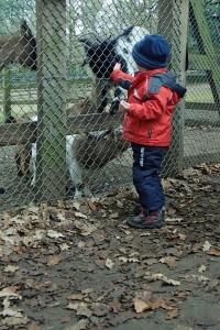 Ziegen füttern im Tannenbusch