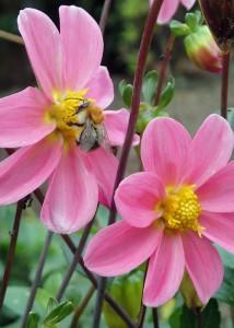 """Die """"geerbten"""" Herbst-Annemonen blühten sehr lange und erfreuten Bienen und Hummeln gleichermaßen."""
