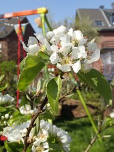Obstbäume blühen im April