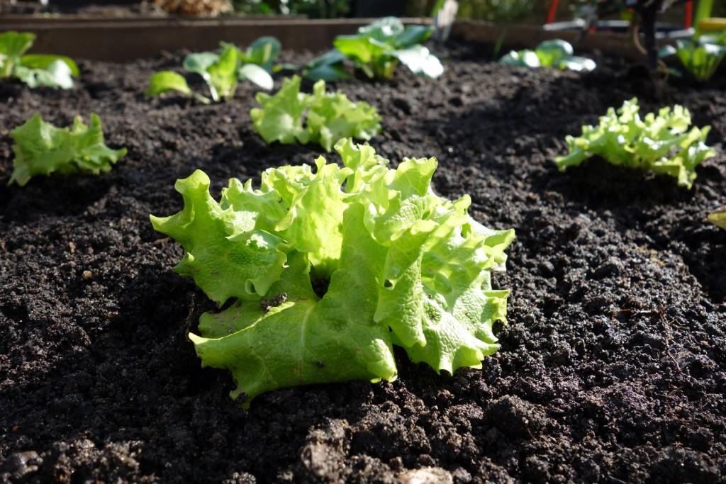 Salat, über den Winter draußen gewachsen, echte Permakultur sozusagen.