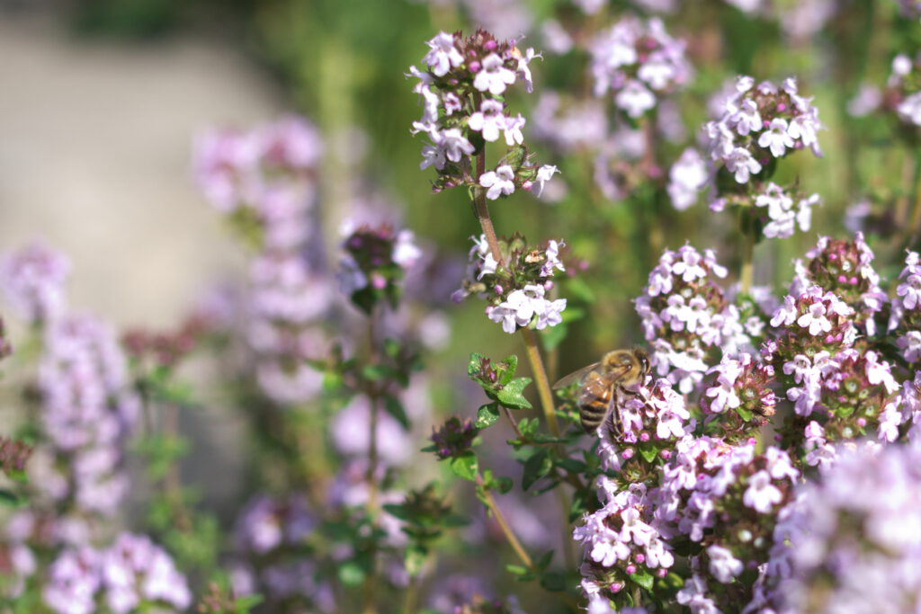 Thymian, Blüten mit Biene